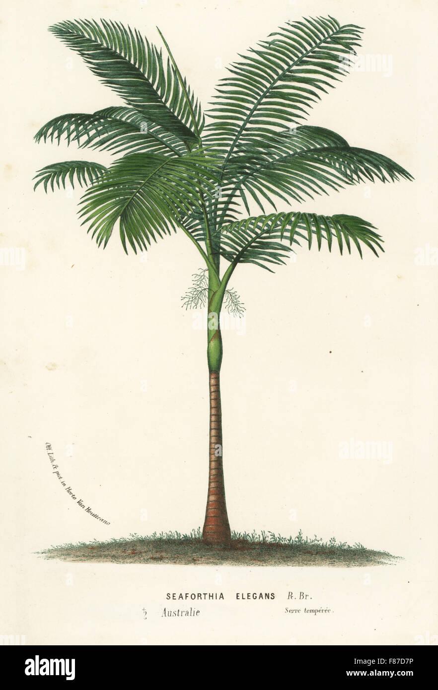 Solitaire ou Palm, Palm Alexander Ptychosperma elegans elegans (Seaforthia). Lithographie coloriée de Louis Photo Stock