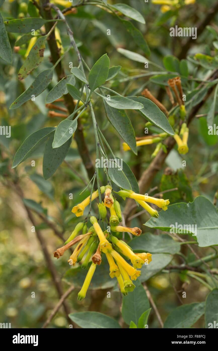 tabac, nicotiana glauca arbre, en fleurs, naturalisé dans le sud de