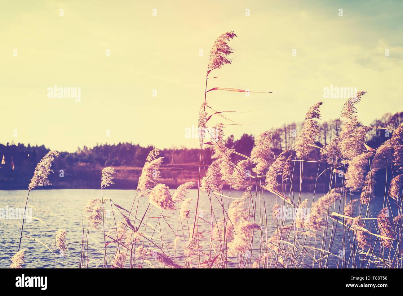 Tons Vintage roseaux par un lac, fond nature avec une faible profondeur de champ. Photo Stock