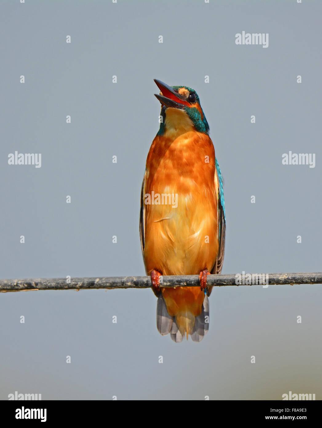 Kingfisher posent une menace Photo Stock