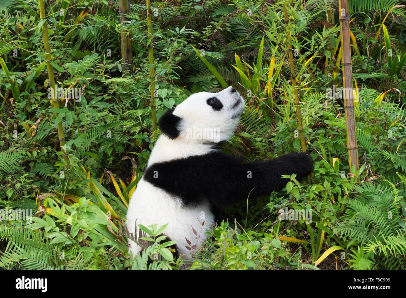 Les jeunes âgés de deux ans le panda géant (Ailuropoda melanoleuca), de la Chine et de Conservation Photo Stock