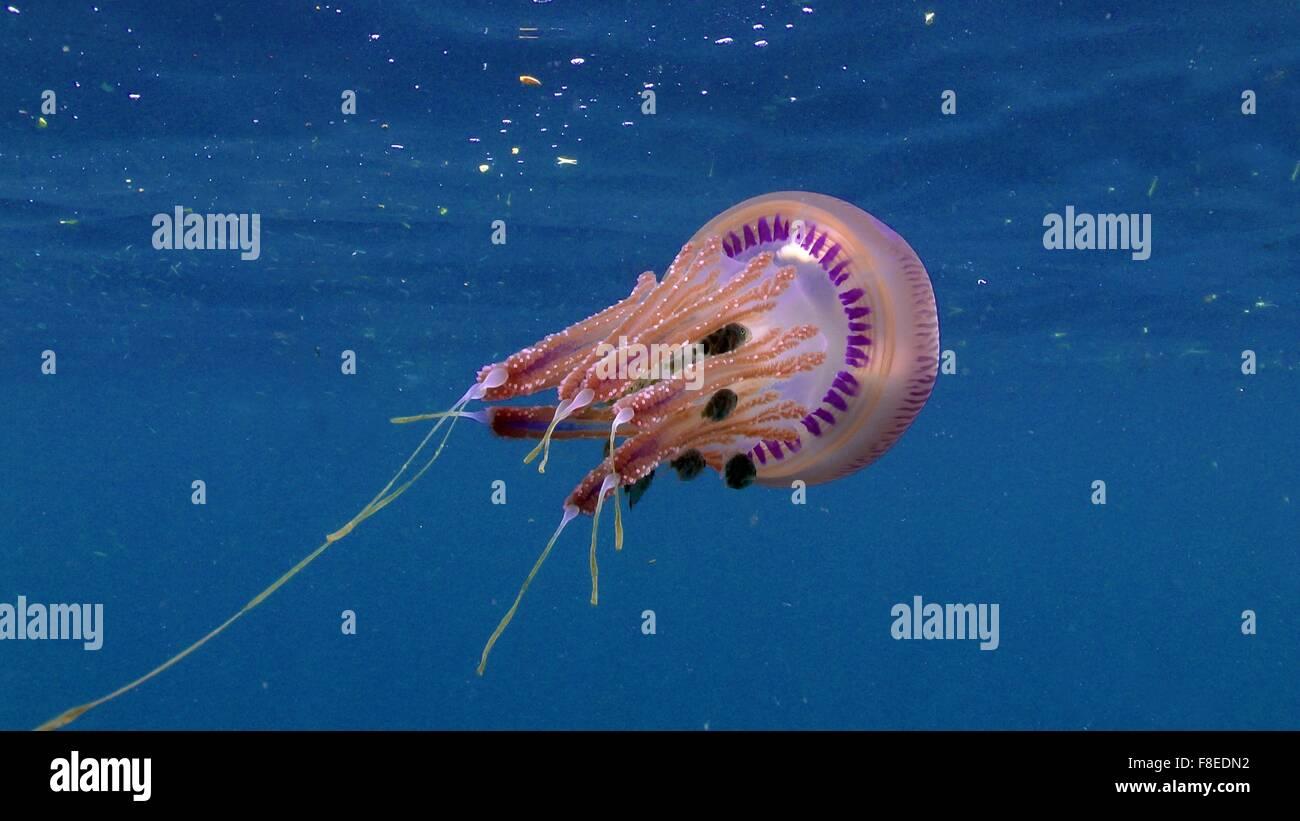 Les Méduses (Thysanostoma rose) avec de petits poissons (le chinchard) Banque D'Images