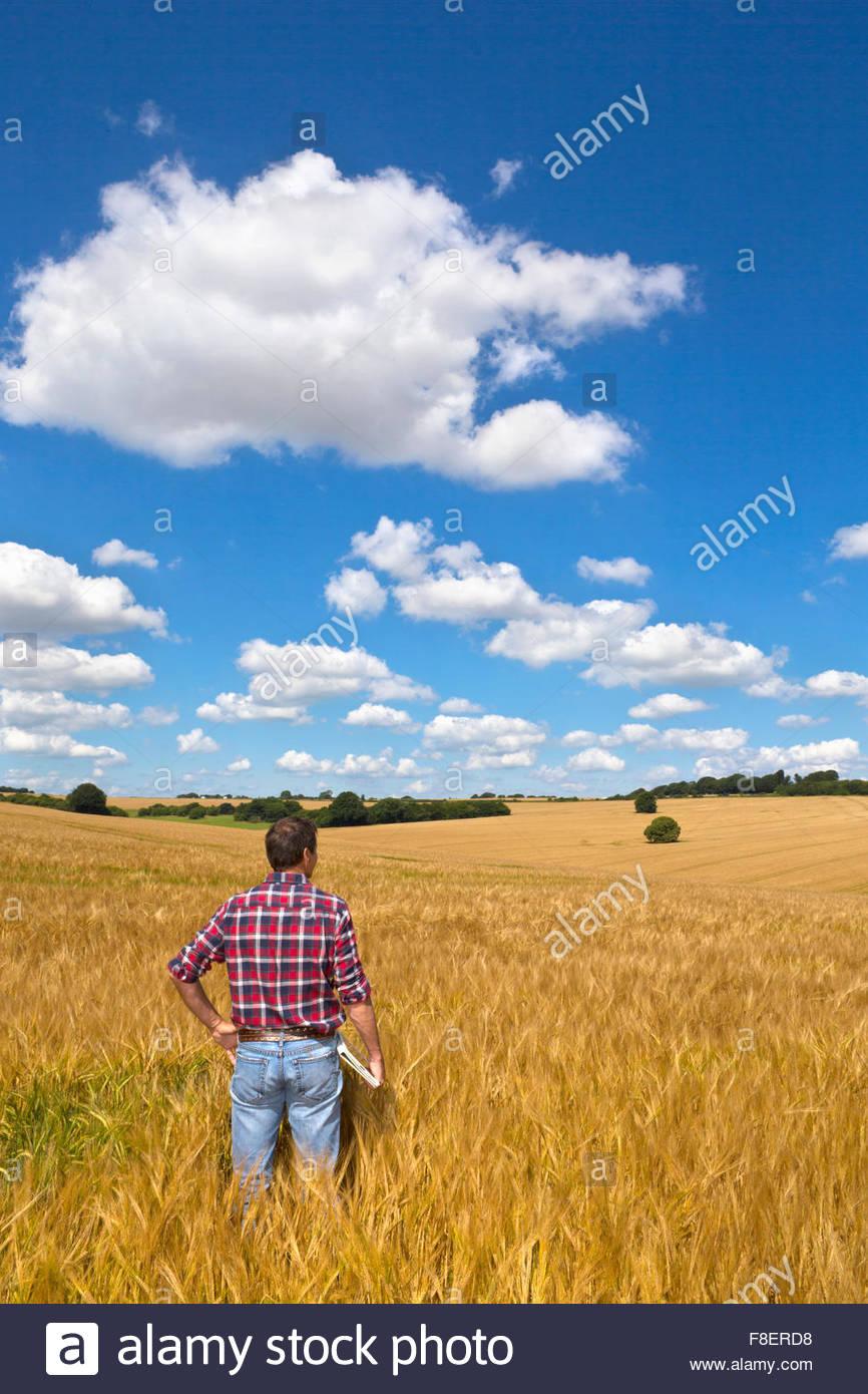 Agriculteur à la recherche sur le champ de la récolte d'orge rural ensoleillée en été Photo Stock