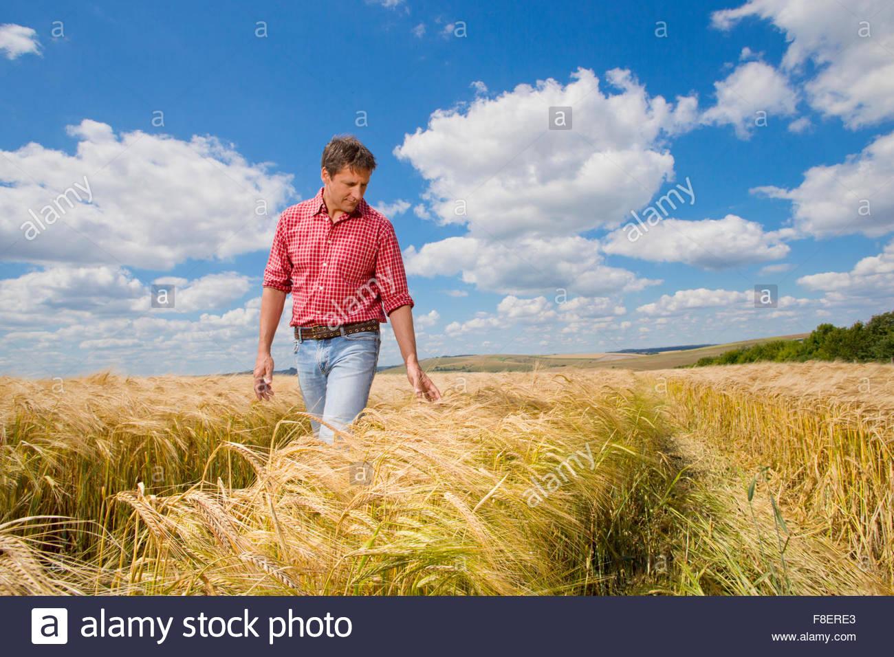L'examen des agriculteurs ruraux ensoleillée en été sur le terrain de la récolte d'orge Photo Stock