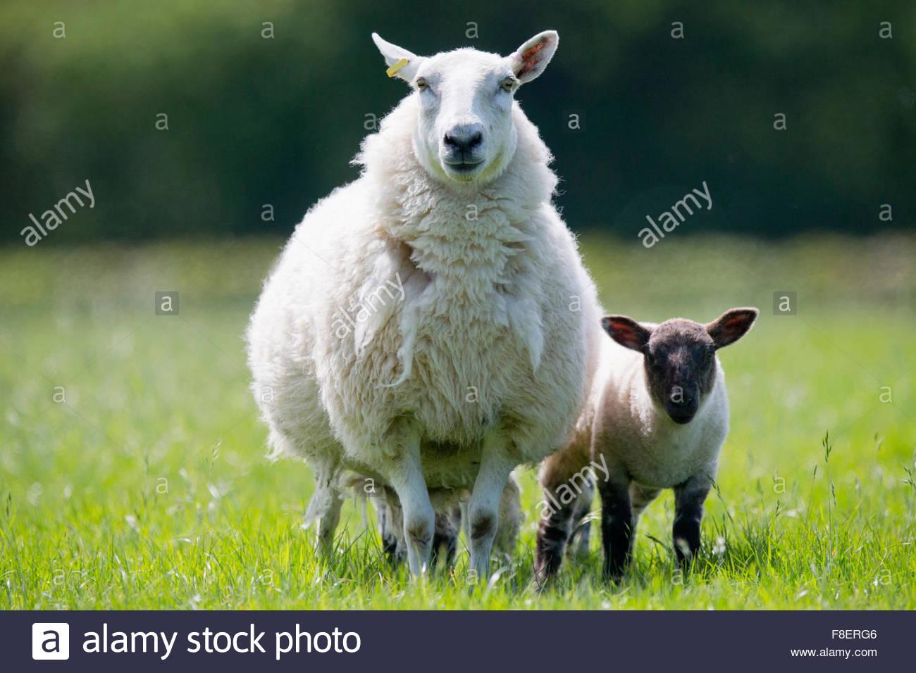 Portrait de mouton et agneau d'herbe verte sous le soleil Photo Stock