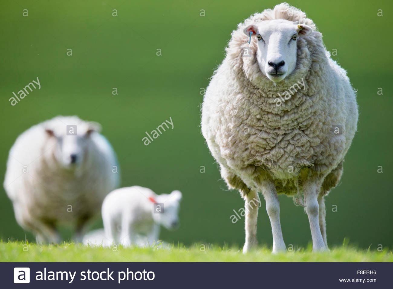 Portrait de moutons en herbe de printemps Photo Stock