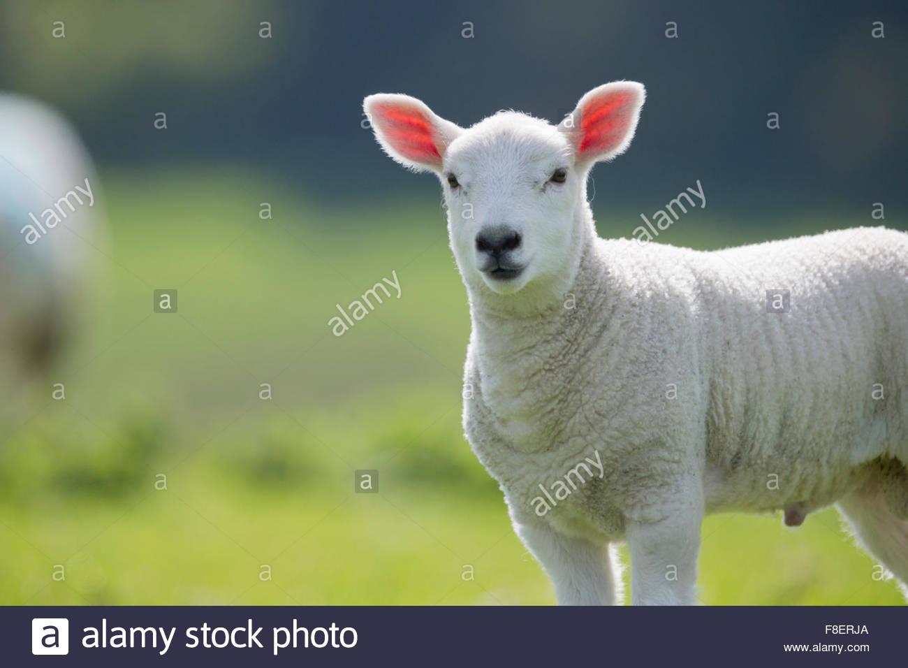 Portrait d'agneau d'herbe en vert Photo Stock