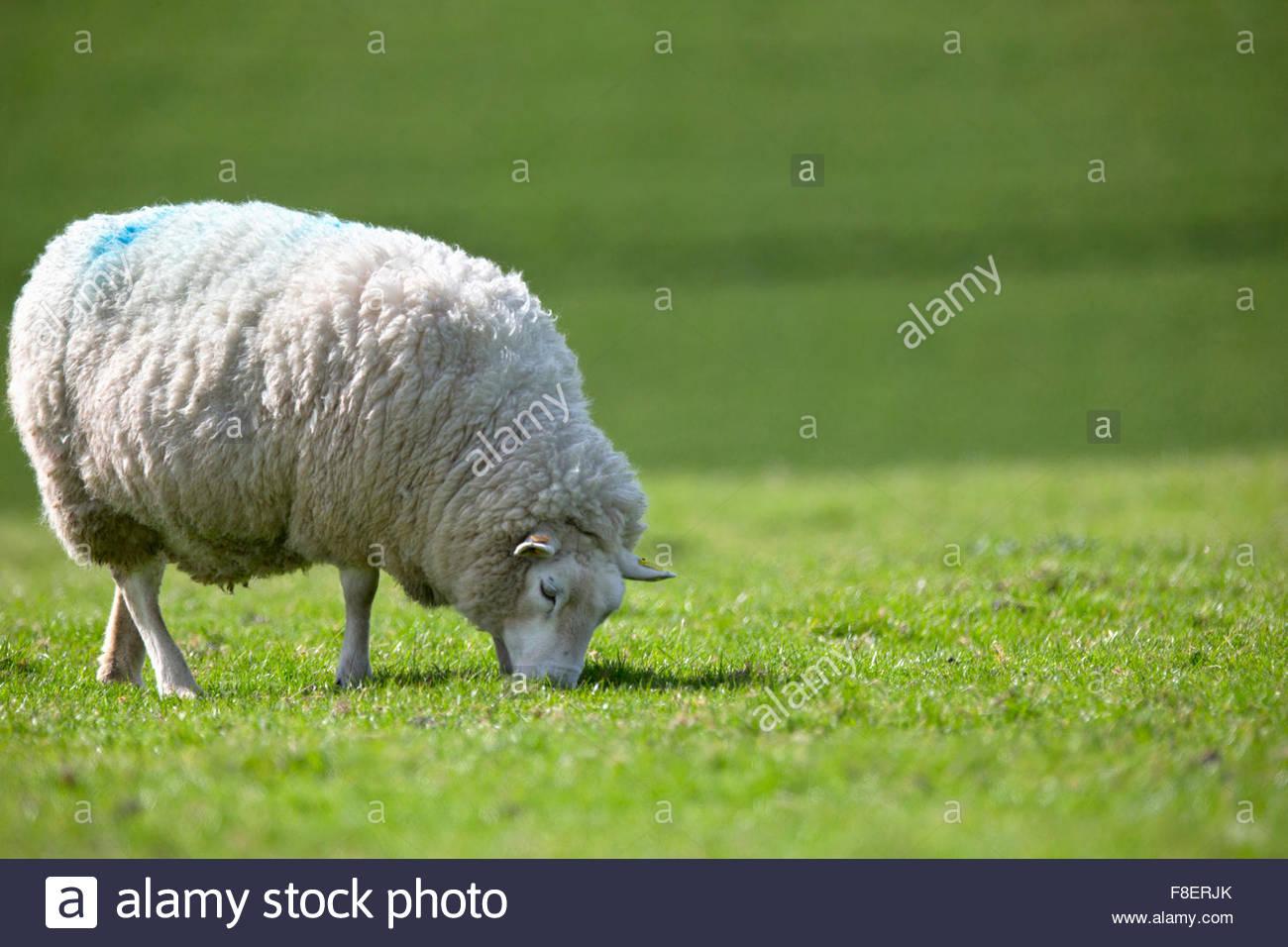 Des moutons paissant dans le champ d'été vert ensoleillé Photo Stock