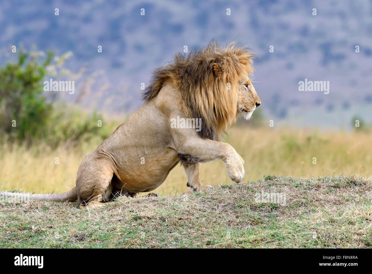 A proximité du parc national de lion du Kenya, Afrique Banque D'Images