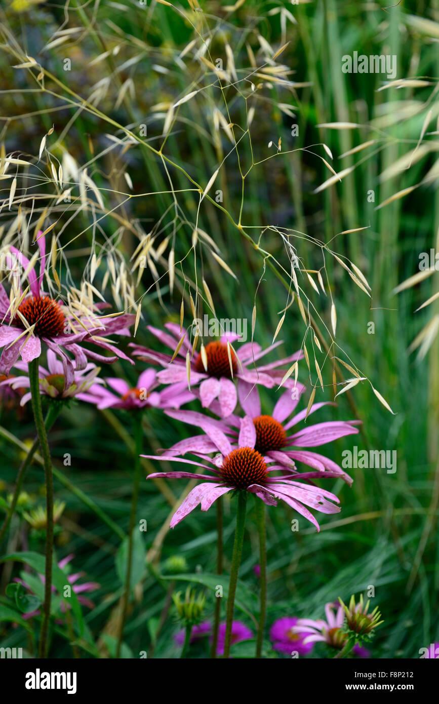 Echinacea Purpurea Magnus Stipa Gigantea Herbe Echinacee Combinaison