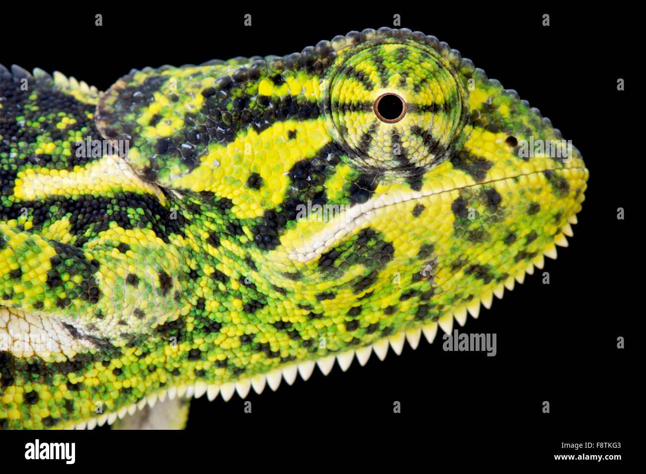 Flapnecked (Chamaeleo dilepis caméléon) Photo Stock