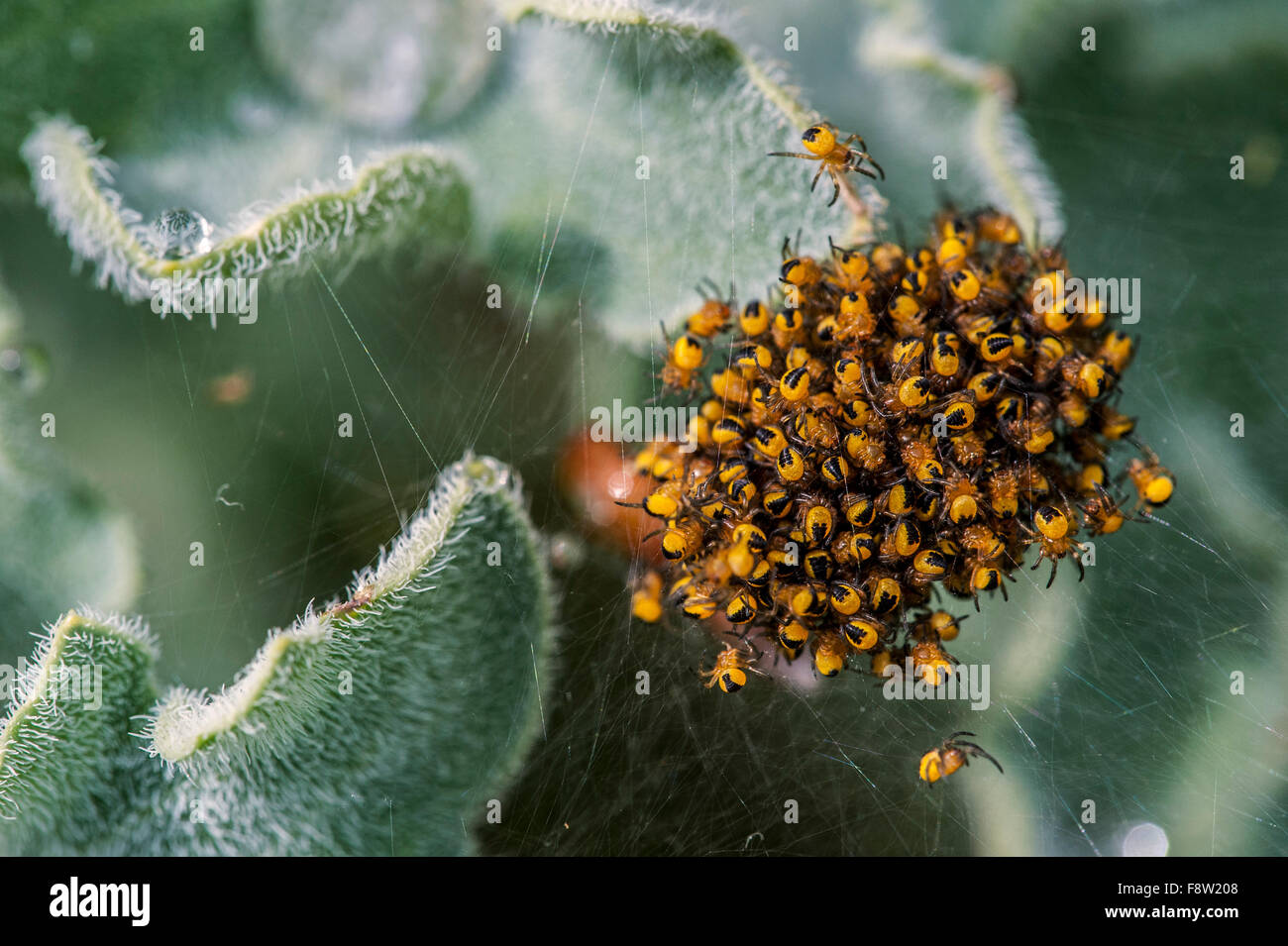 Le jardin européen / araignée araignée Araneus diadematus diadem (cluster), de quelques petits jours Photo Stock