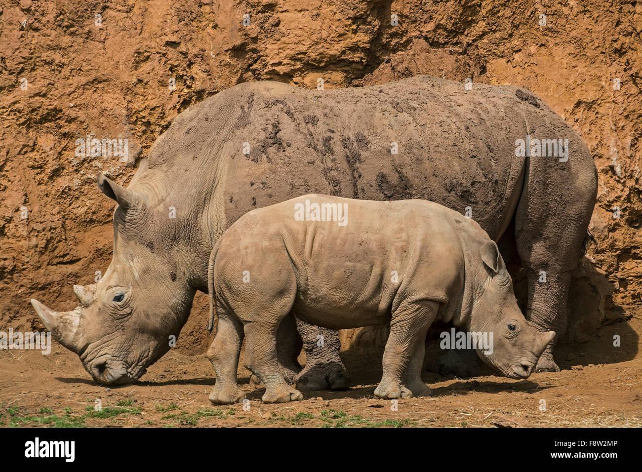 White Rhino / Square-lipped rhinoceros (Ceratotherium simum), femelle et son veau Photo Stock