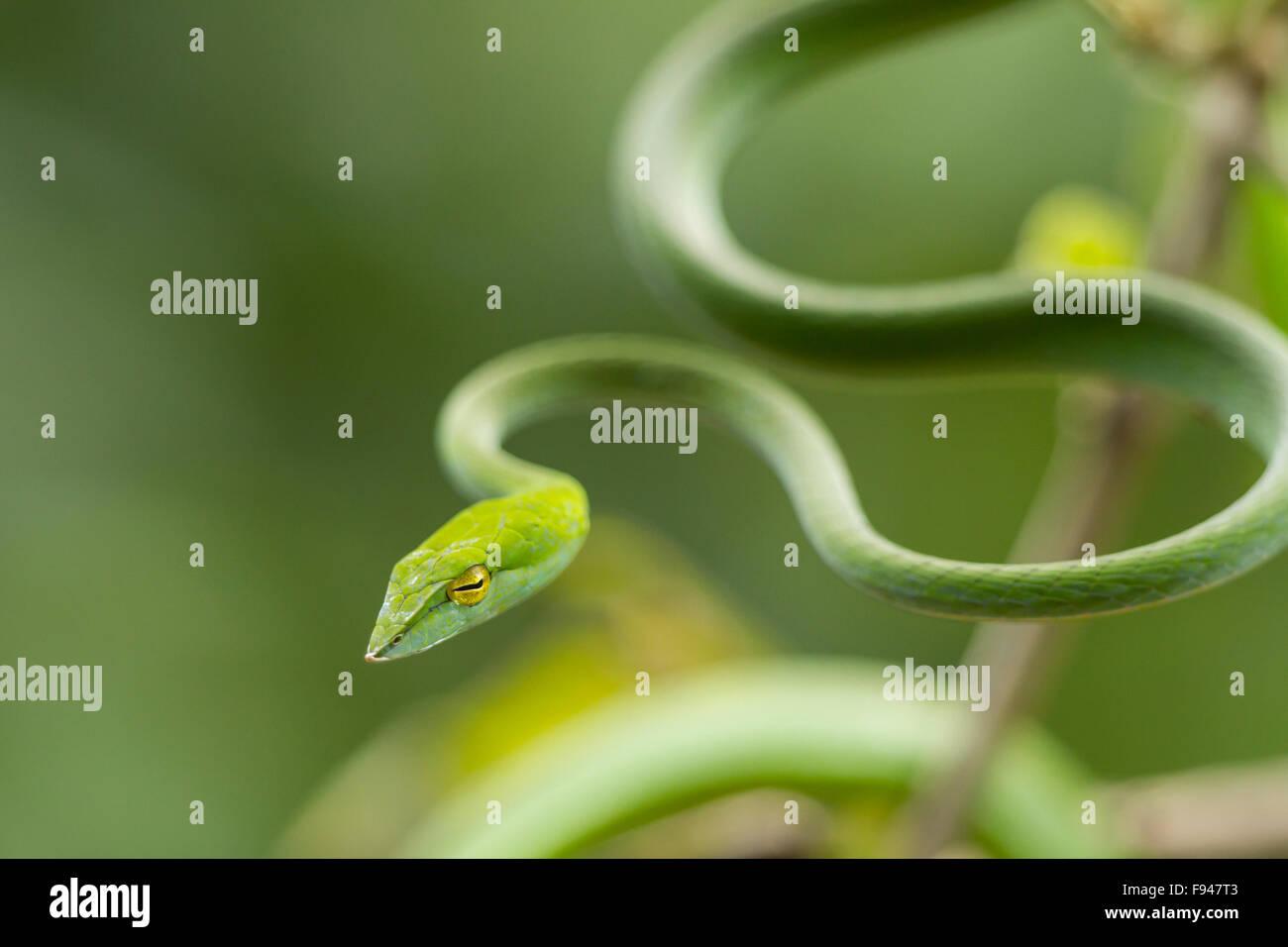 Le Serpent de vigne commune (Ahaetulla nasuta), est un mince serpent vert trouvés en Inde Banque D'Images