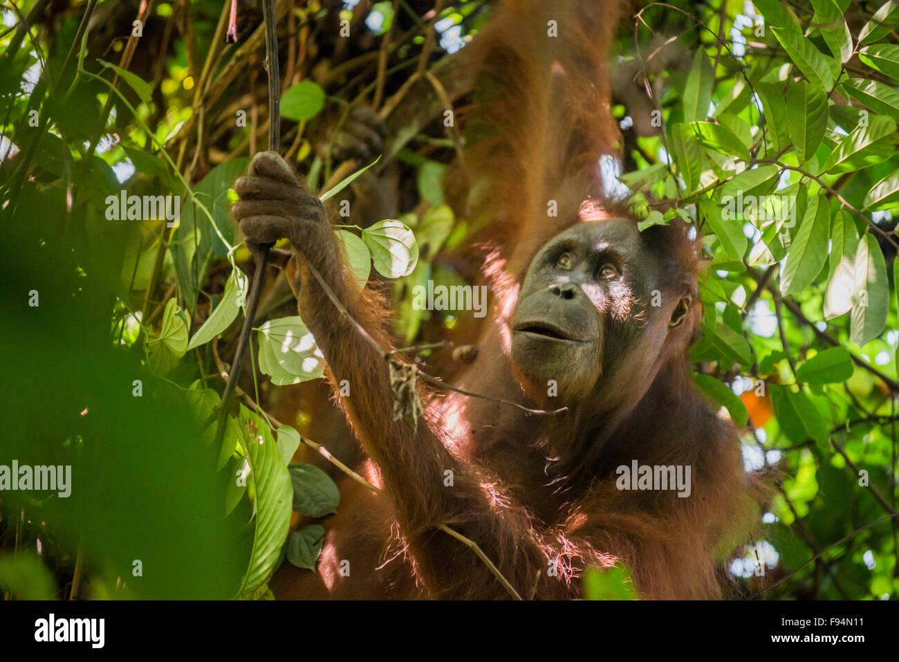 L'orang-outan femelle adulte de l'Est de Bornéo. Banque D'Images