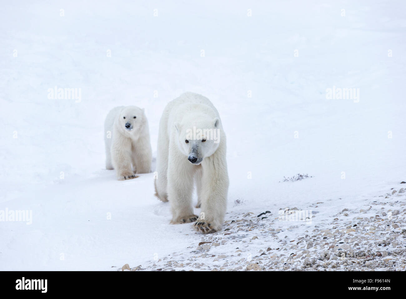 L'ours polaire (Ursus maritimus), femme et cub de l'année, le cap Churchill, Parc National de Wapusk, Photo Stock