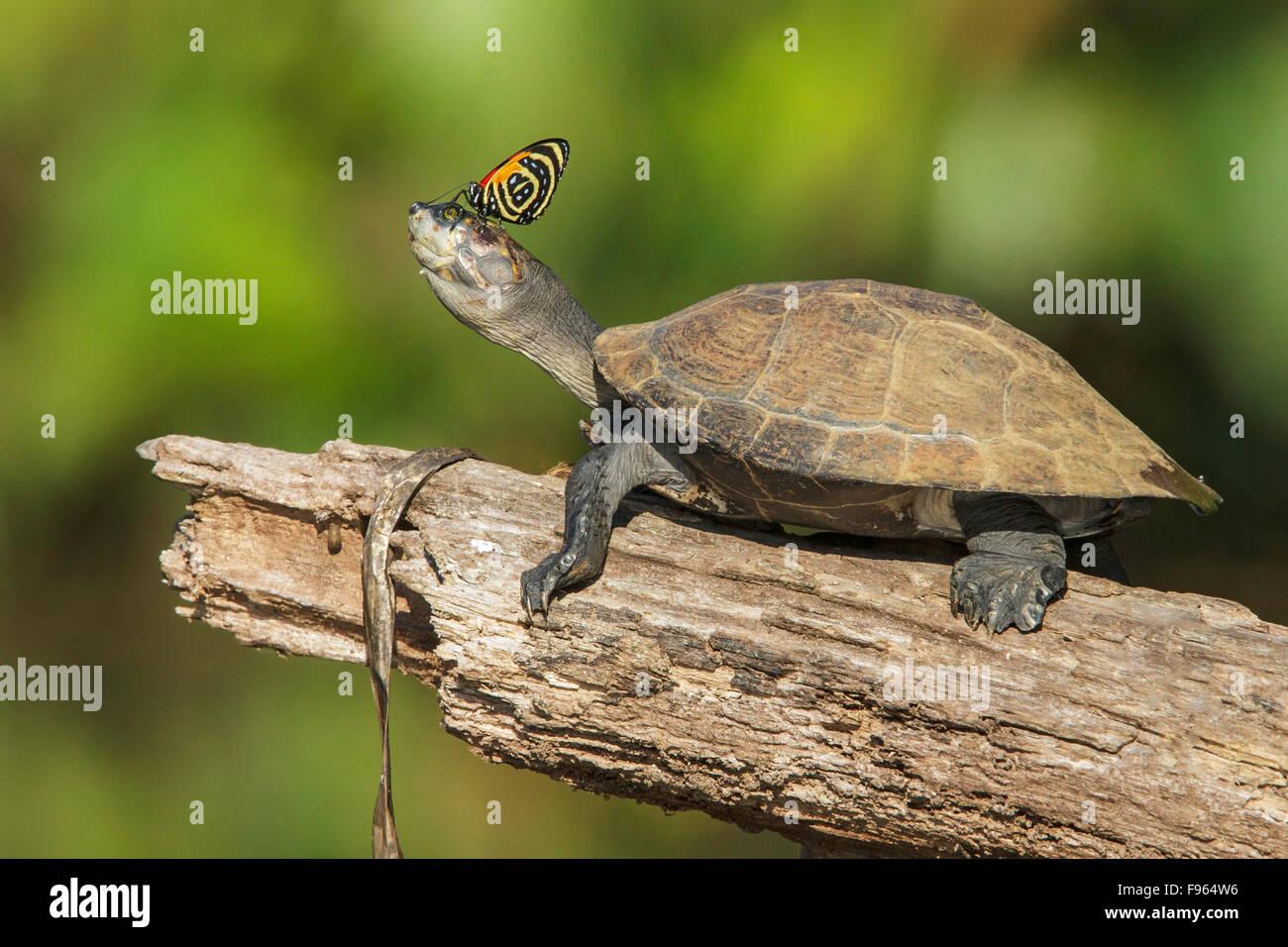 Une tortue avec un papillon sur le nez dans le parc national de Manu, Pérou. Photo Stock
