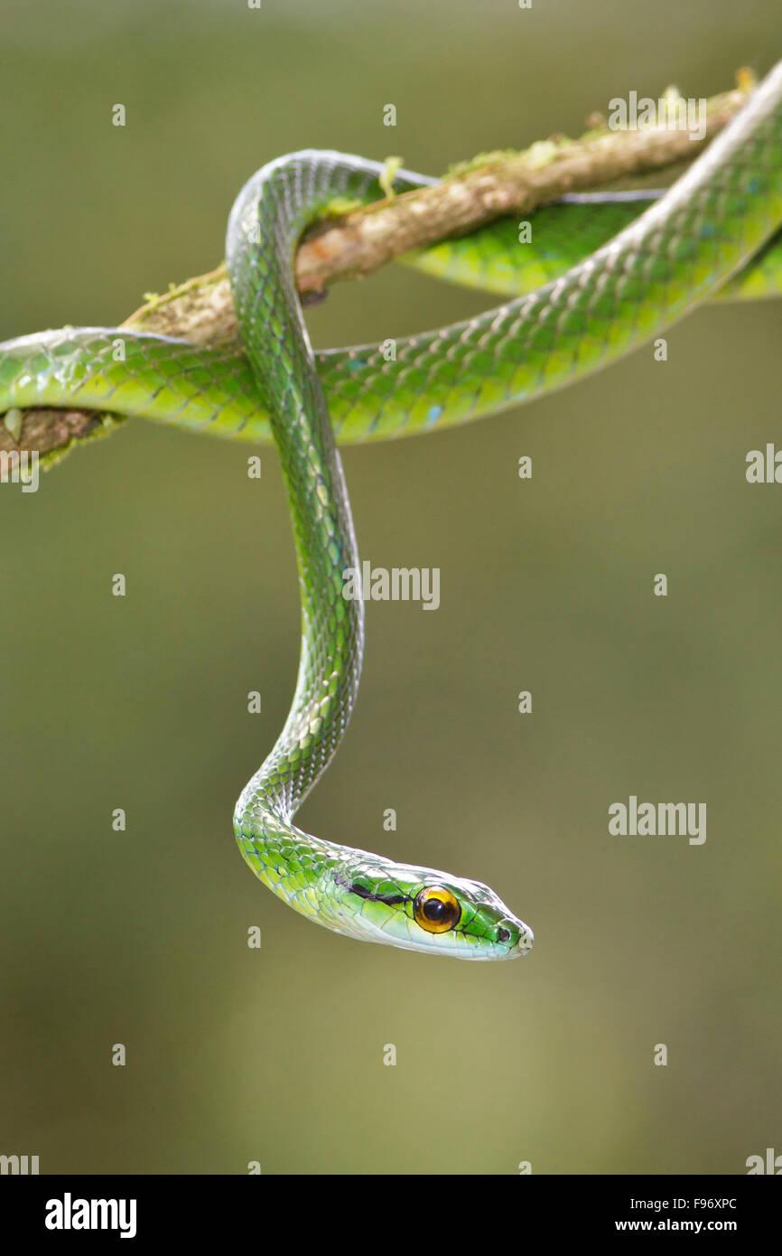 Serpent perroquet perché sur une branche au Costa Rica, Amérique centrale. Photo Stock