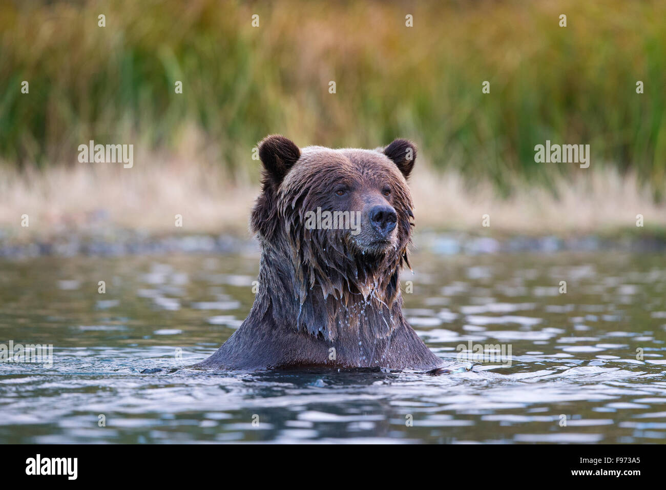 Ours grizzli (Ursus arctos horribilis), Centrale de l'intérieur, en Colombie-Britannique. Banque D'Images