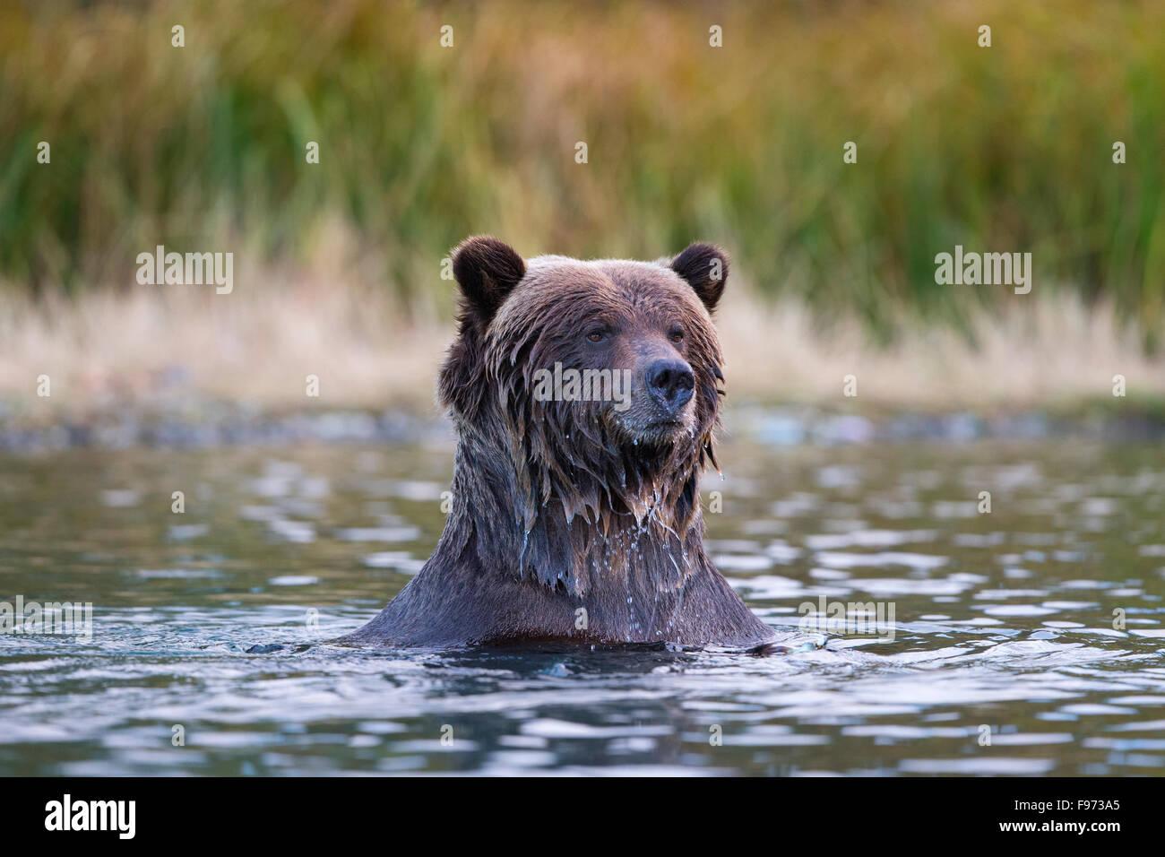 Ours grizzli (Ursus arctos horribilis), Centrale de l'intérieur, en Colombie-Britannique. Photo Stock