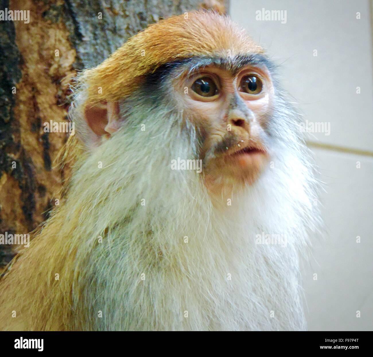 Portrait of monkey Photo Stock