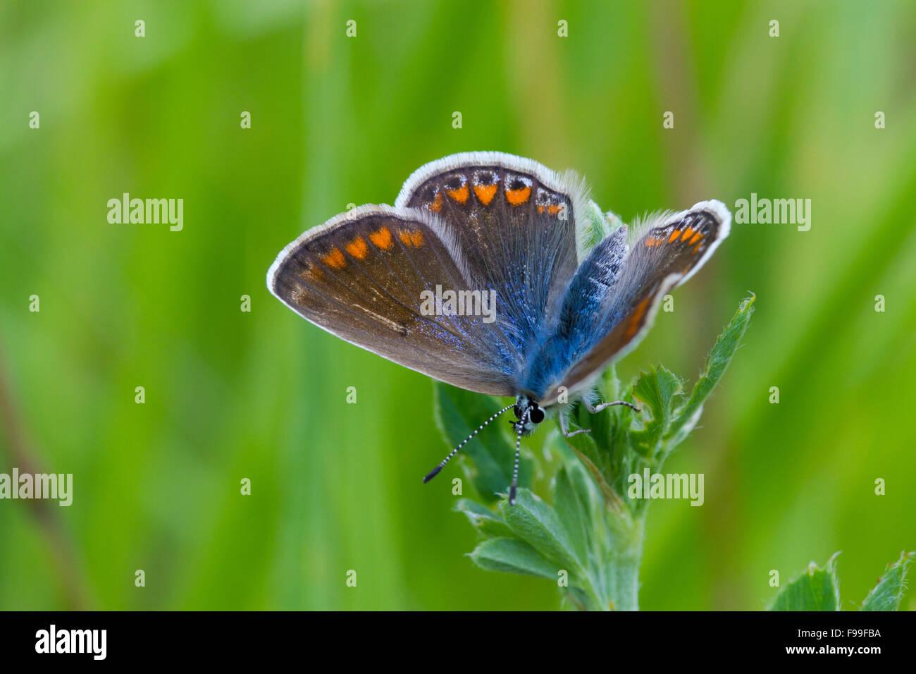 Papillon Bleu commun (Polyommatus icarus) femelle adulte. Sur le Causse de Gramat, Lot, France. Mai. Photo Stock