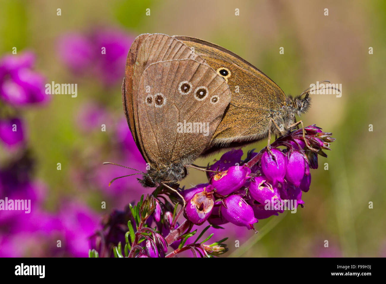 Aphantopus hyperantus) Ringlet (l'accouplement des papillons adultes sur la floraison Bruyère cendrée Photo Stock
