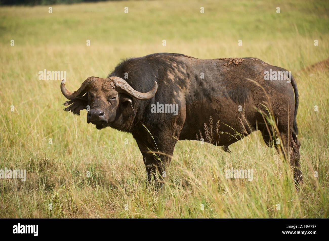 Buffalo (Syncerus caffer caffer), Parc National de Kidepo Valley, en Ouganda Photo Stock