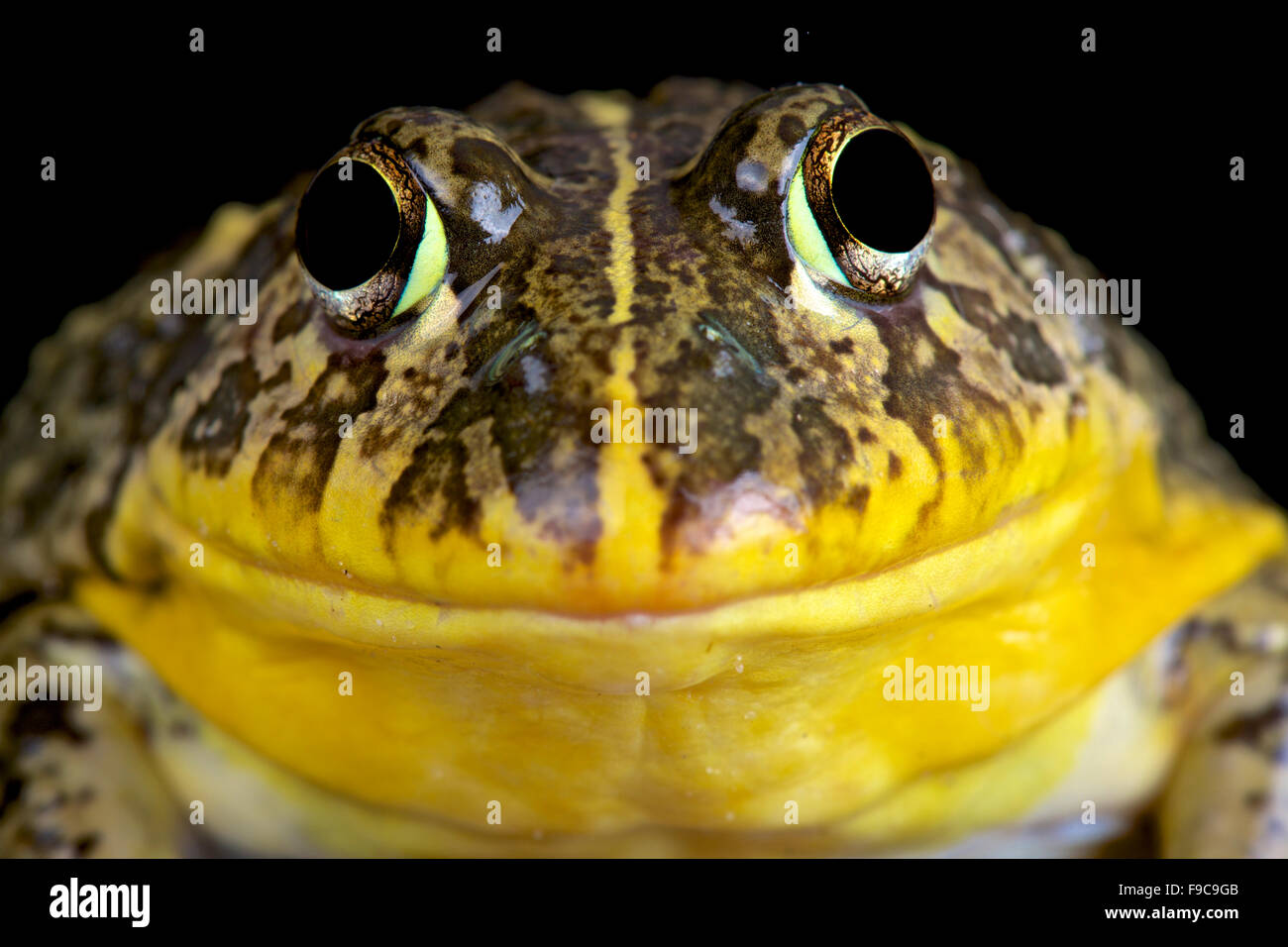 Bullfrog comestibles (Pyxicephalus edulis) Photo Stock