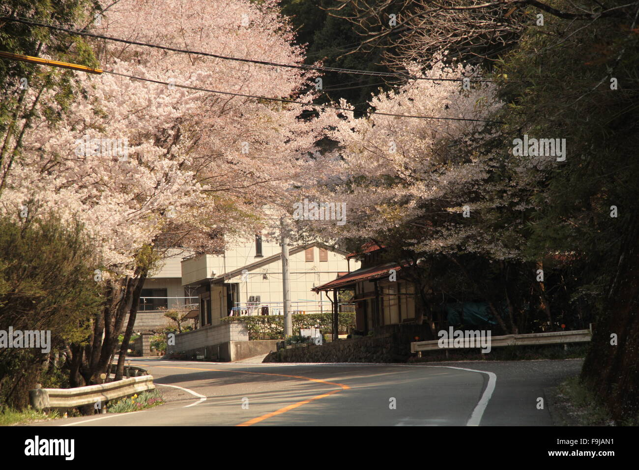 Cherry Blossom sur rue Photo Stock