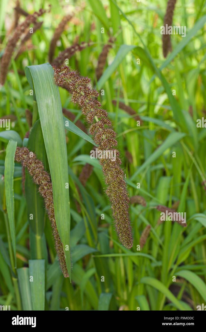Le millet, millet allemand, de soies, d'herbe, Kolben-Hirse Kolbenhirse, Hirse, Borstenhirse, Setaria italica, Photo Stock