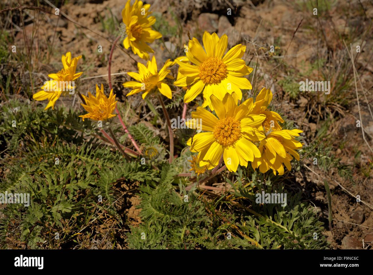 WA12385-00...WASHINGTON - Fleurs de soleil dans les steppes arbustives des Beezley Hills au nord de Quincy. Photo Stock