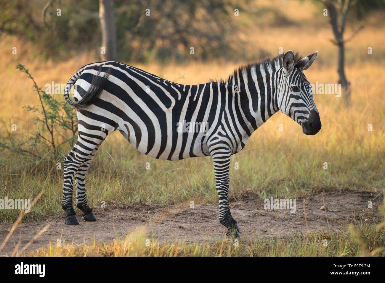 Le zèbre de Burchell (Equus burchellii), parc national du lac Mburo, Ouganda Photo Stock