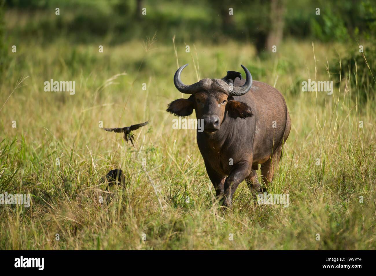 Buffalo (Syncerus caffer caffer), la Réserve de faune de Semliki, Ouganda Photo Stock