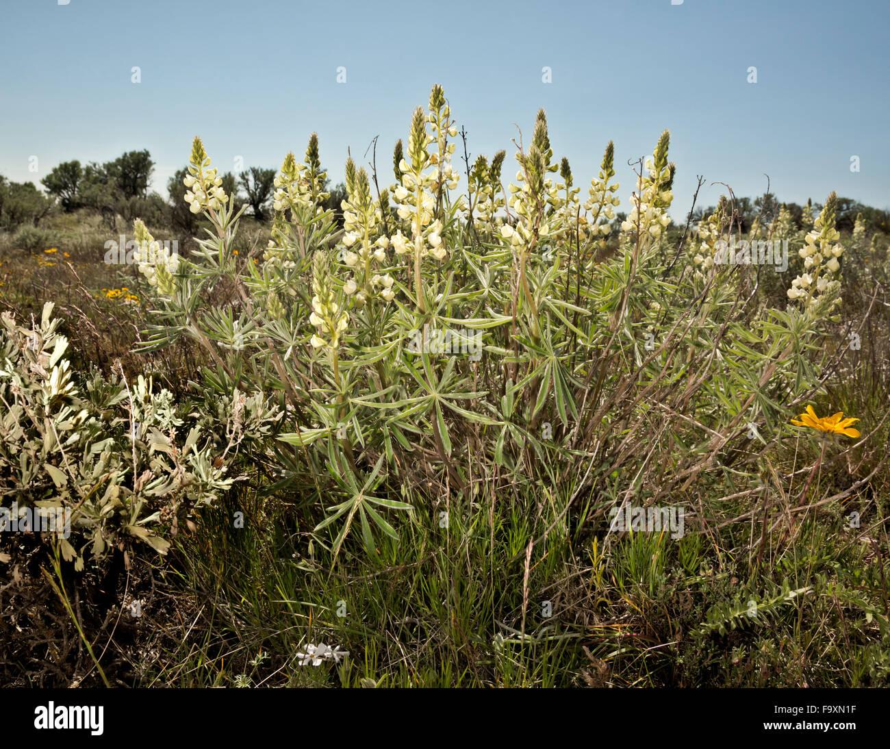 WA12389-00...WASHINGTON - dans l'arbuste en fleurs Lupin-écosystème du Beezley Hills au nord de Quincy. Photo Stock