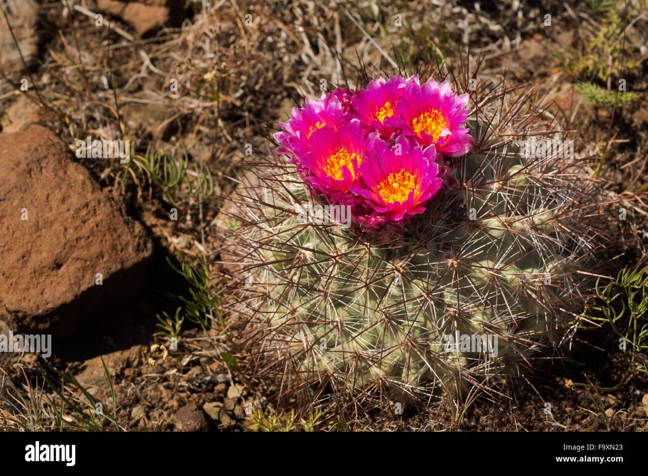 WA12394-00...WASHINGTON - Hedgehog cactus qui fleurit dans les steppes arbustives sur Beezley l'écosystème Photo Stock