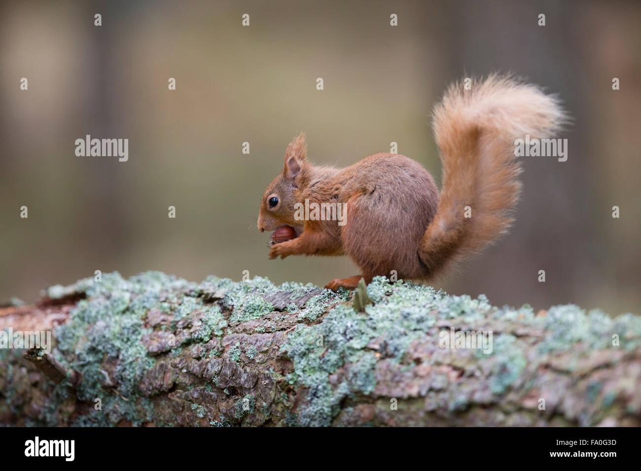 L'Écureuil roux, Sciurus vulgaris seul sur l'écrou de l'alimentation; l'Ecosse UK Photo Stock