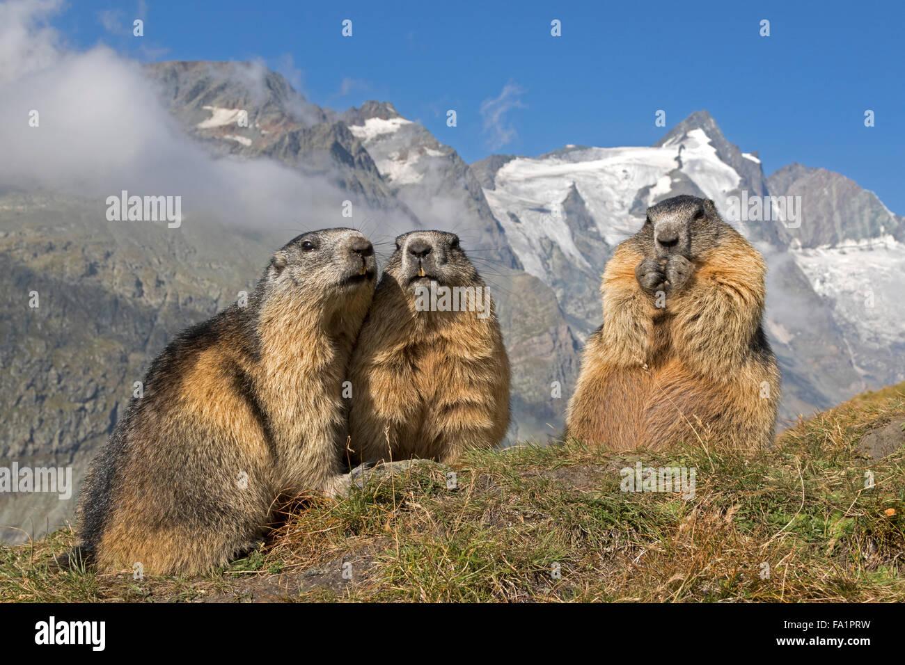 Marmotte alpine en face de Großglockner, Parc National du Haut Tauern, Carinthie, Autriche, Europe / Marmota Photo Stock