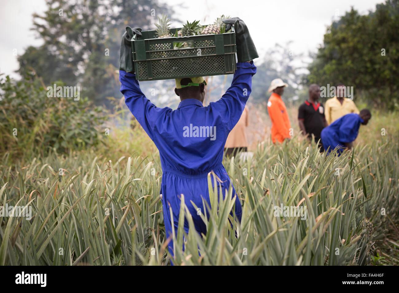 L'agriculture commerciale Fotobi ananas dans village, au Ghana. Photo Stock