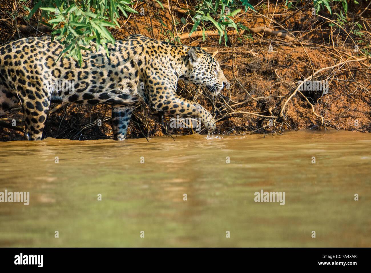 Profil d'une Jaguar, Panthera onca, chasse le long d'une rivière dans le Pantanal, Mato Grosso, Brésil, Photo Stock