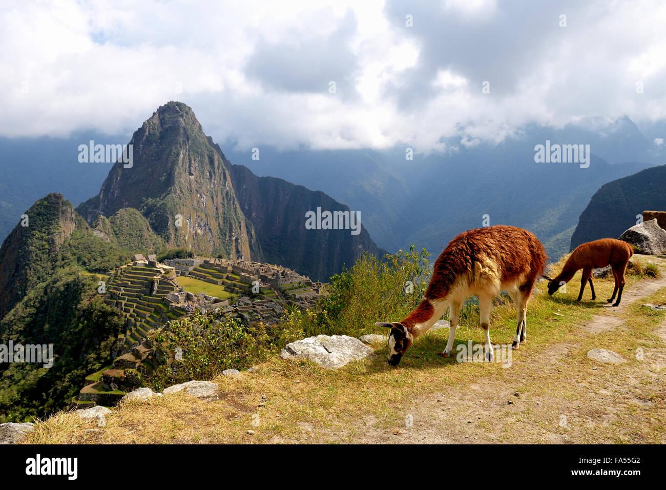 Le lama (Lama glama) avec de jeunes en face de ville détruite, ville Inca de Machu Picchu, Huayna Picchu montagne Photo Stock