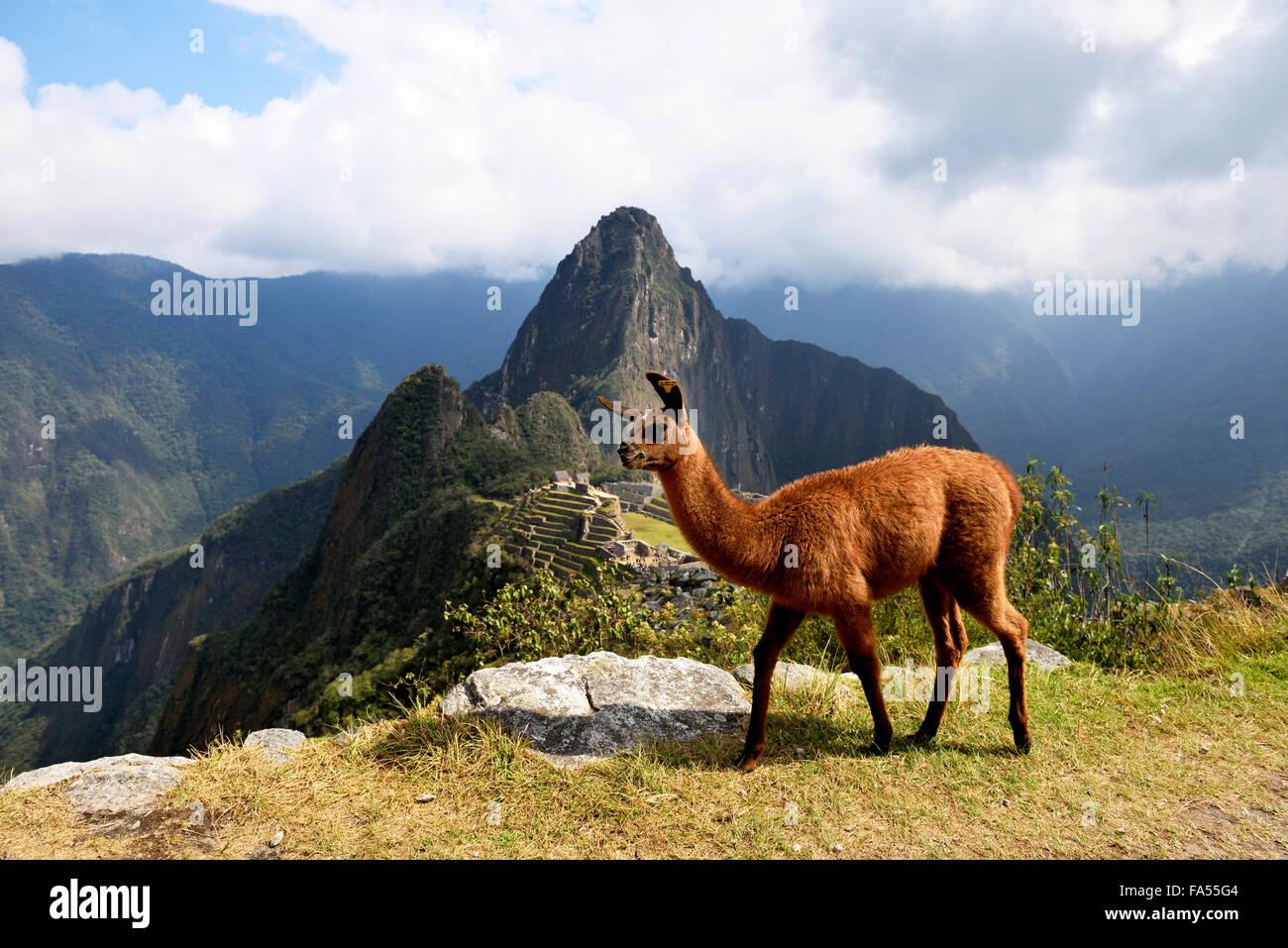 Le lama (Lama glama) en face de ville détruite, ville Inca de Machu Picchu, Huayna Picchu montagne derrière, Photo Stock