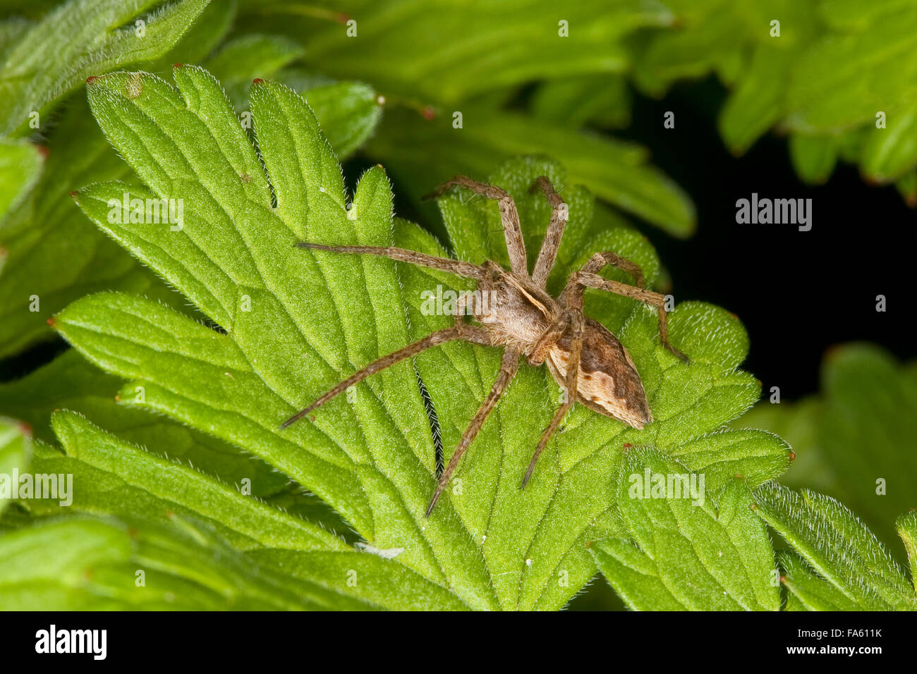 Pêche fantastique Spider, Spider web, pépinière, Listspinne List-Spinne Raubspinne Brautgeschenkspinne, Photo Stock