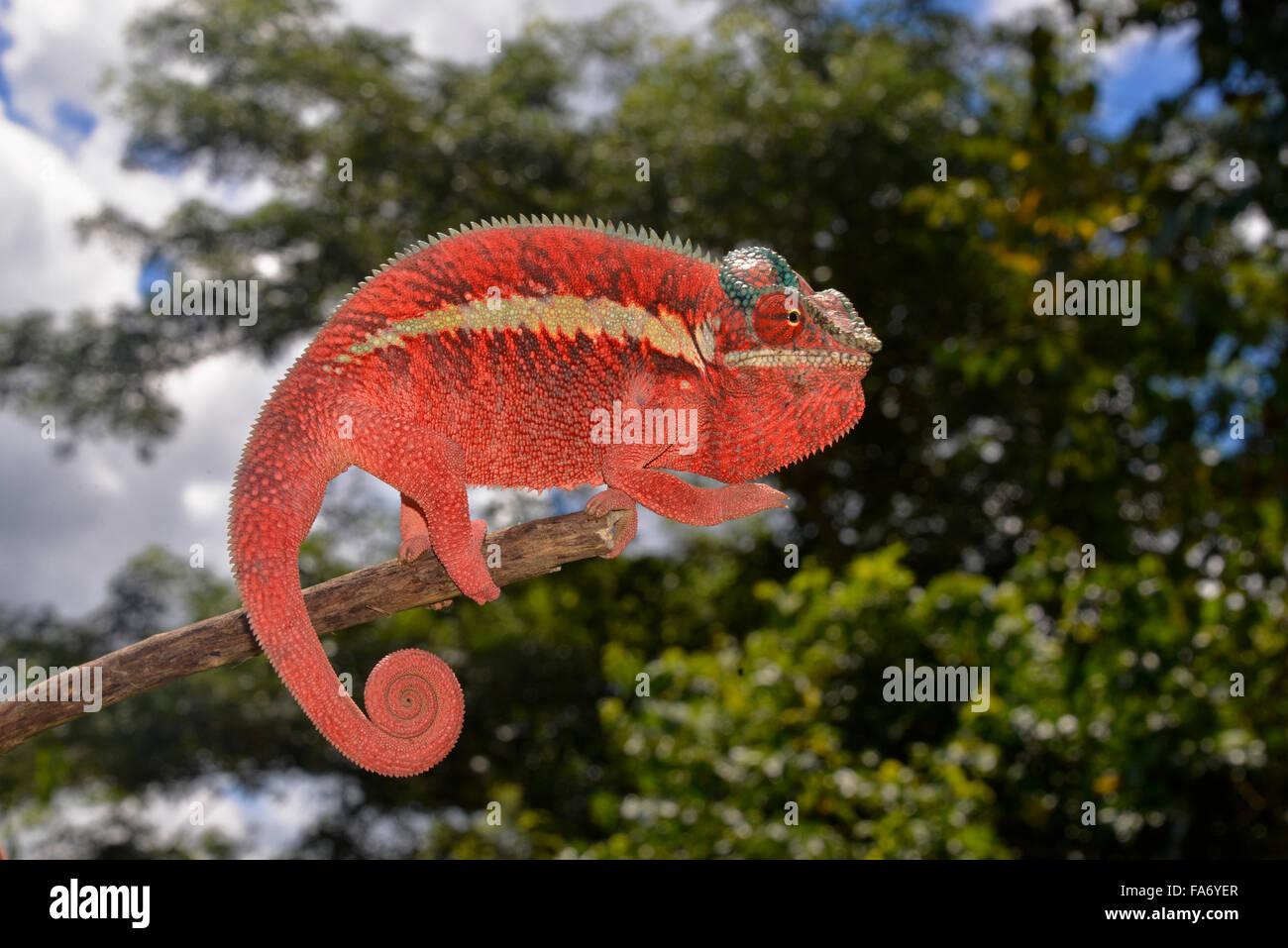 Caméléon panthère (Furcifer pardalis), forme locale Ankaramy, ouest de Madagascar Photo Stock
