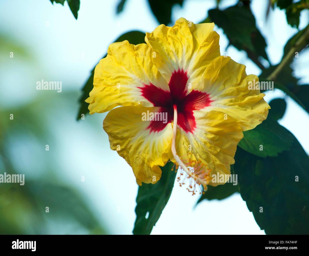 Une Fleur Jaune Hibiscus Rouge Avec Le Milieu Une Fleur Un