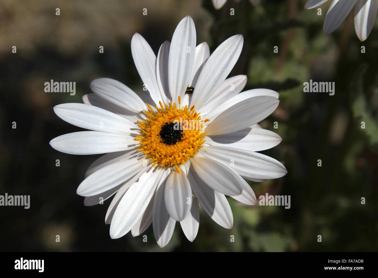 Namaqua blanc fleur Daisy Le Namaqualand Northern Cape Afrique du Sud Banque D'Images