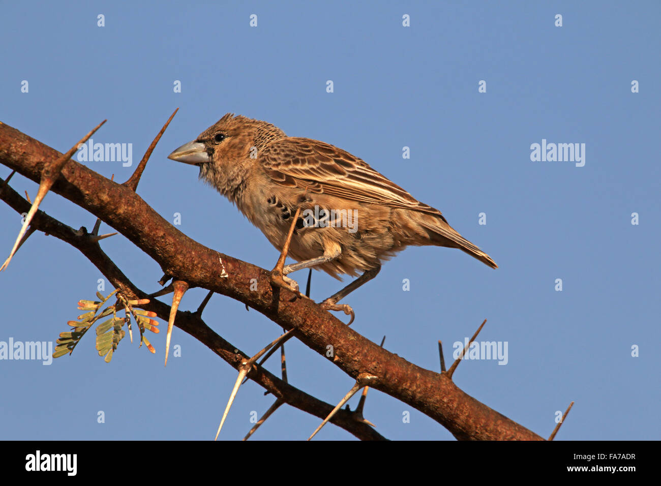 Sociable Weaver bird Philetairus socius Kgalagadi Transfrontier National Park Northern Cape Afrique du Sud Banque D'Images