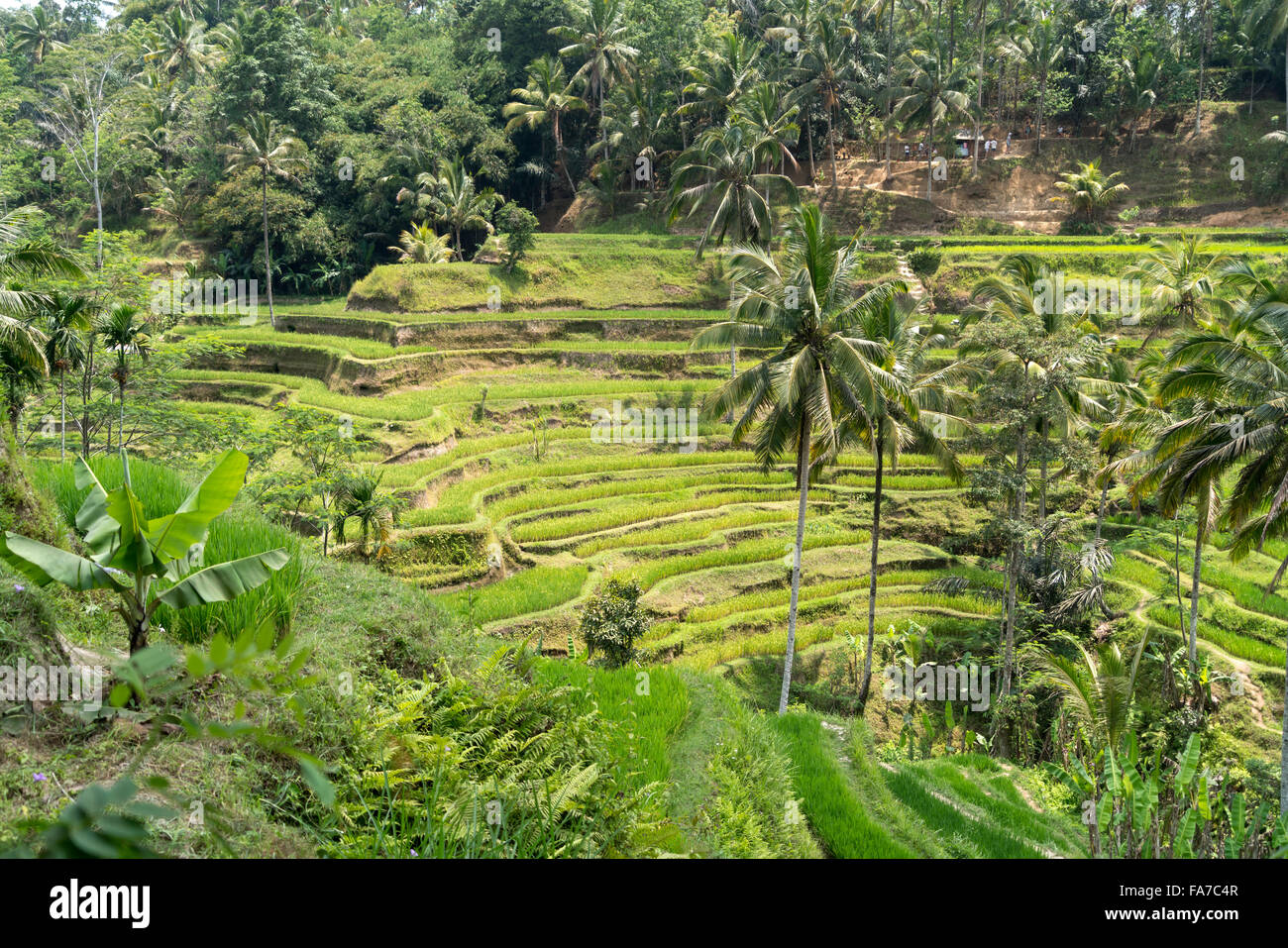 Les terrasses de riz de Tegalalang près de Ubud, Bali, Indonésie Photo Stock