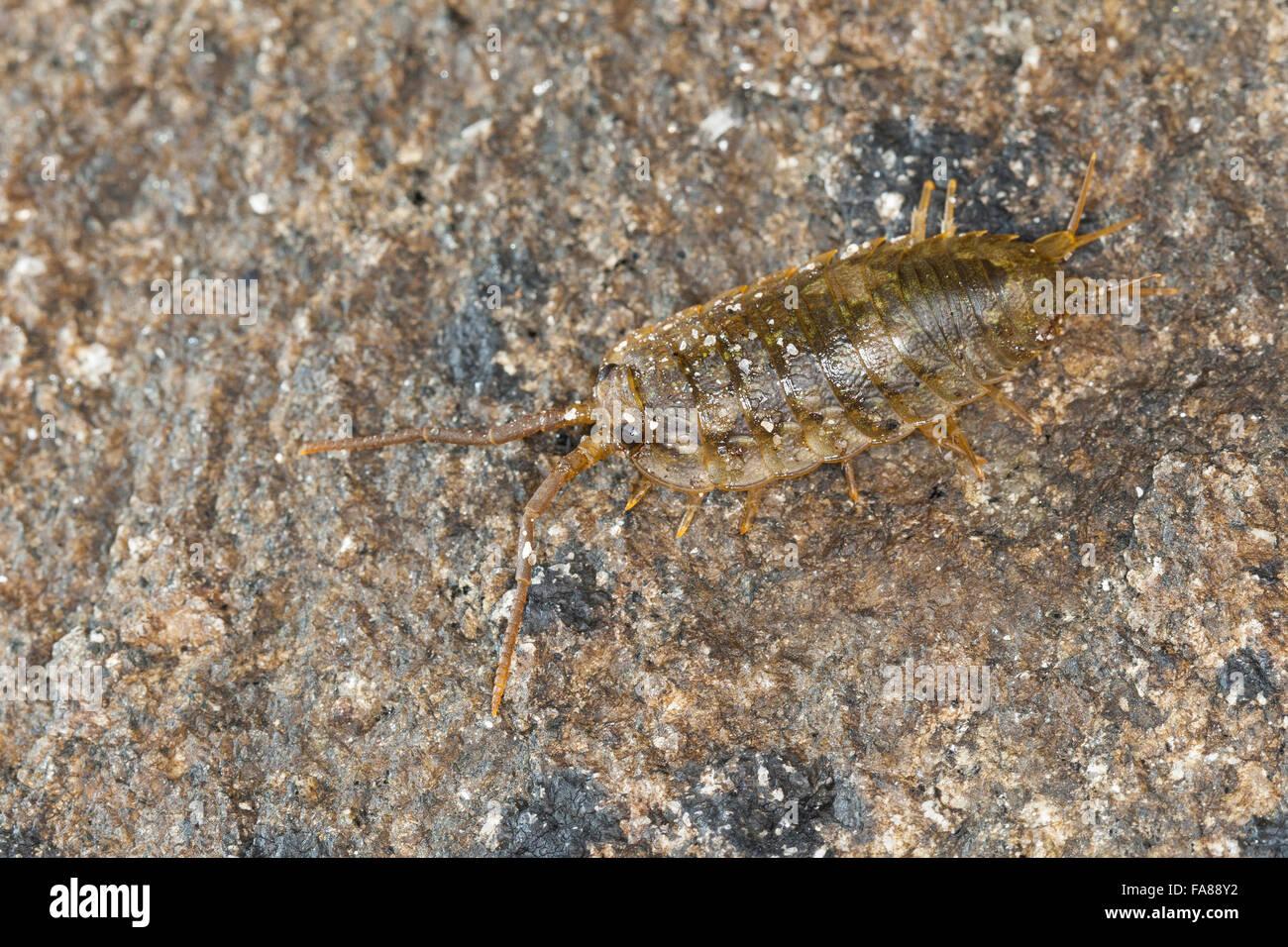 Mer commune, Slater Roach, mer, littoral, Klippenassel Meeres-Klippenassel cloporte, Meeresassel Meerassel,, Ligia Photo Stock