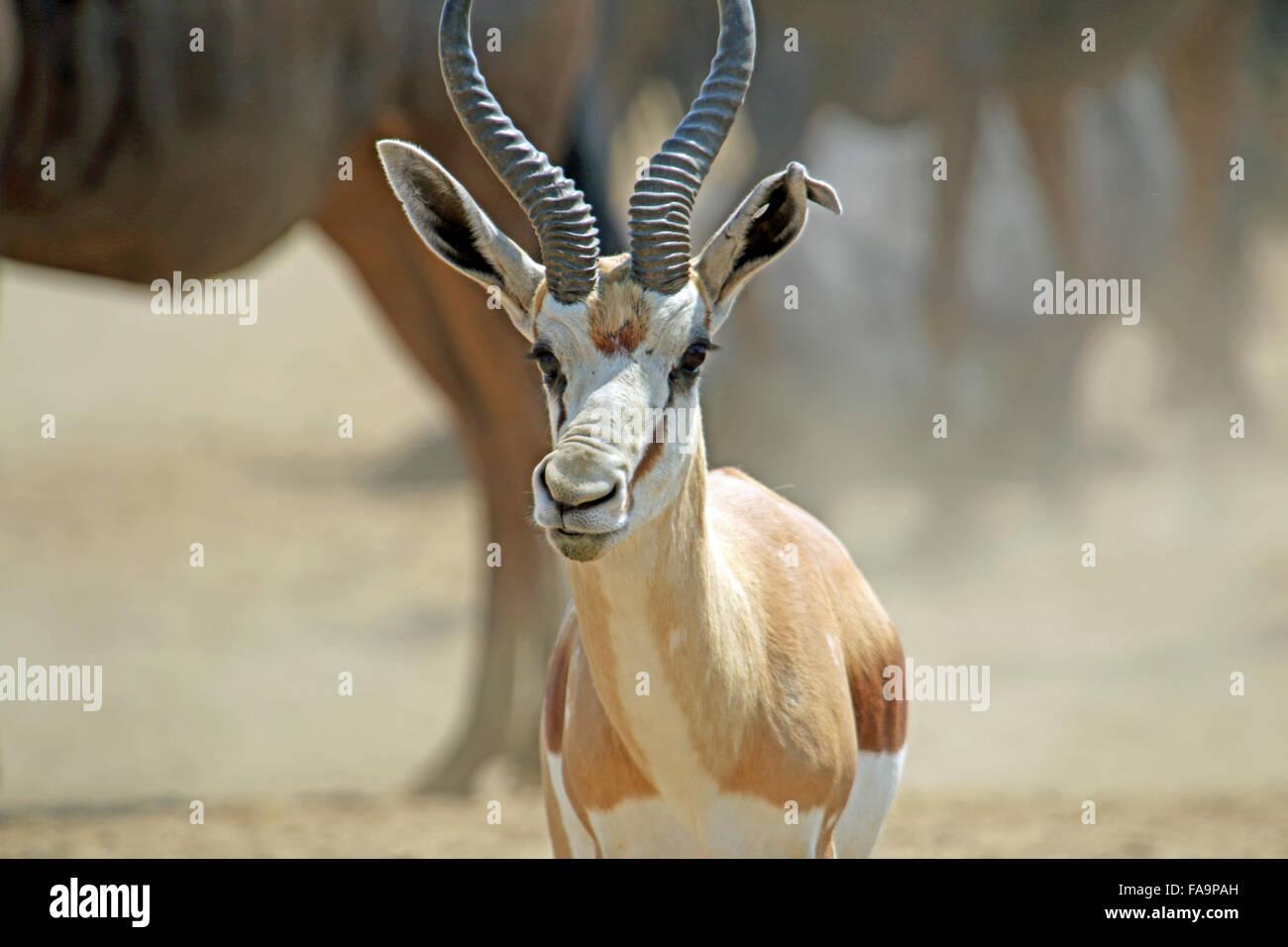 Portrait d'un reniflement Antidorcas marsupialis Springbok au Kgalagadi Transfrontier Park National Cape Afrique Banque D'Images